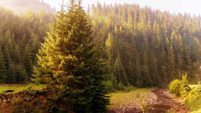 El peligro del pino y el eucalipto en Chile